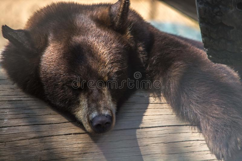 Brown Bear on Wooden Board stock images