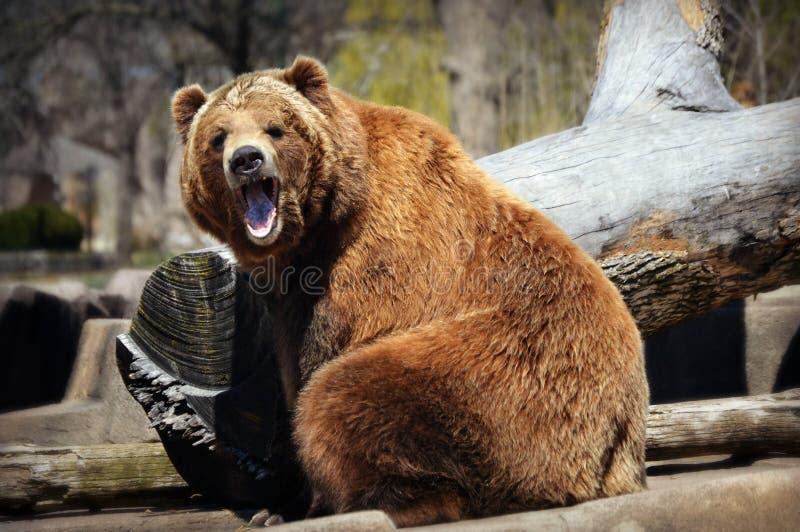 Brown Bear Yawning stock photos