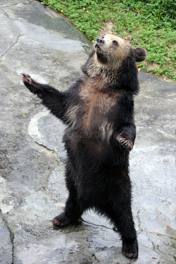 The brown bear royalty free stock photos
