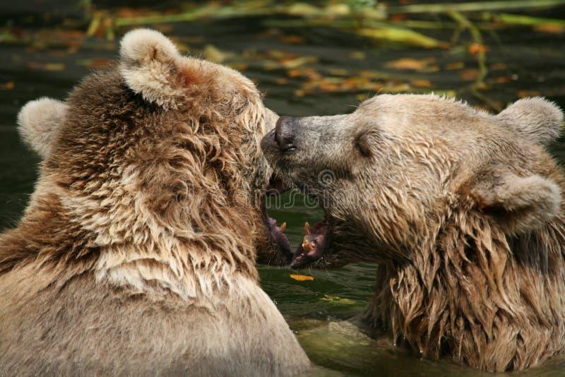 Download Brown bears stock photo. Image of ursus, animals, mammals - 1712502