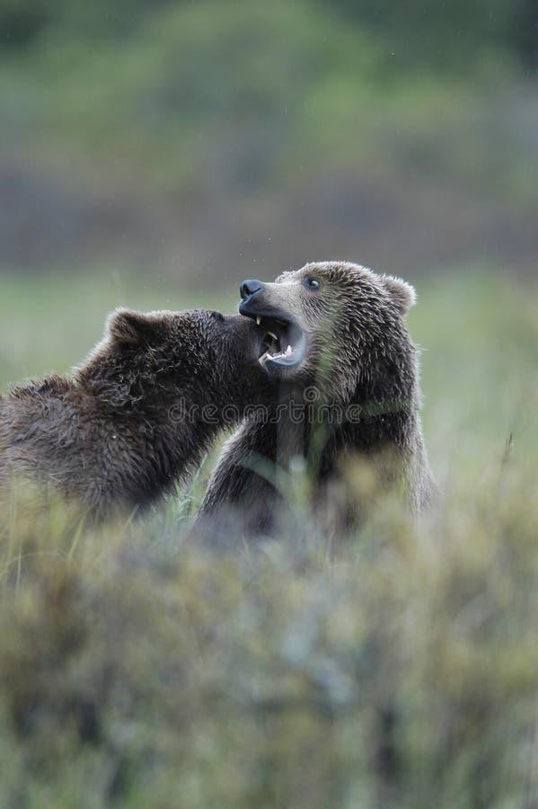 Brown bears playing stock photo