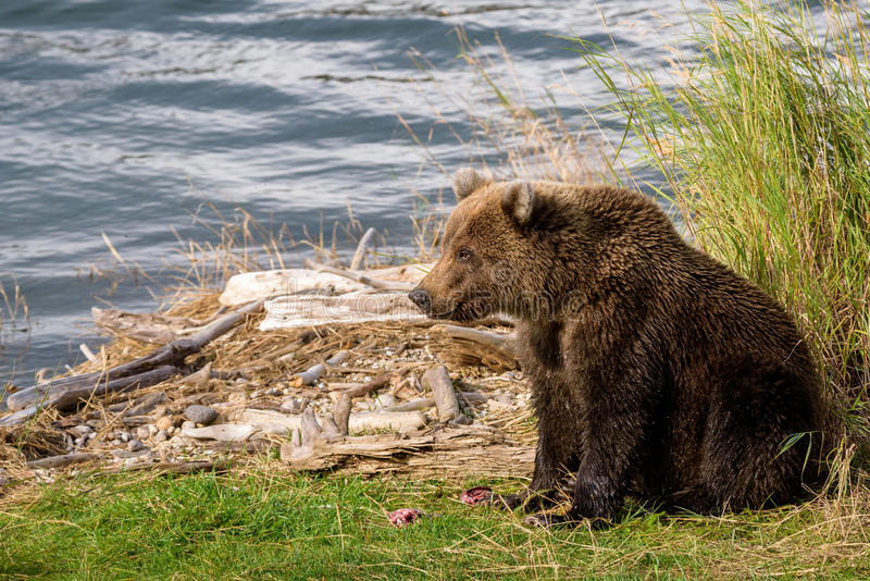 Brown bears in the wild. Young Alaska brown bear guarding fish remains on the edge of the brooks river lagoon royalty free stock photography