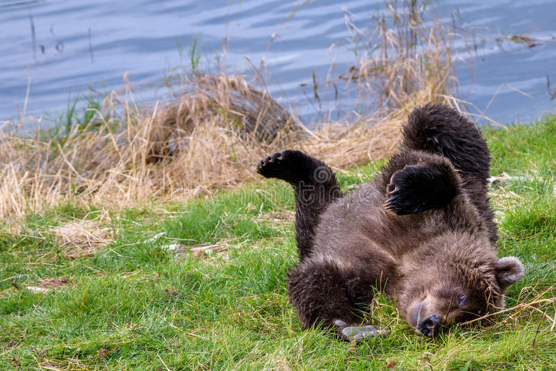 Brown bears in the wild. Young Alaska brown bear playing on the bank of the Brooks River stock photo