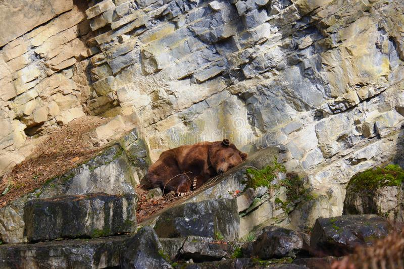 Brown bearwirldlife resting on rocks. Brown european bear resting on rocks Belgium european mammal outdoor wildlige royalty free stock photos