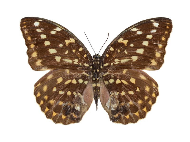 Brown beautiful butterfly stock photo
