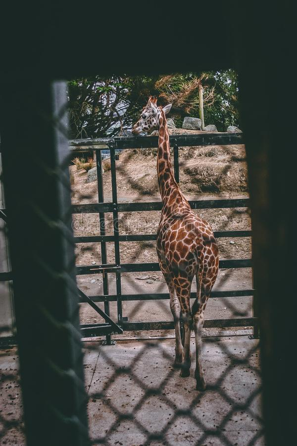Brown and Beige Giraffe Standing Near Black Metal Fence stock photography
