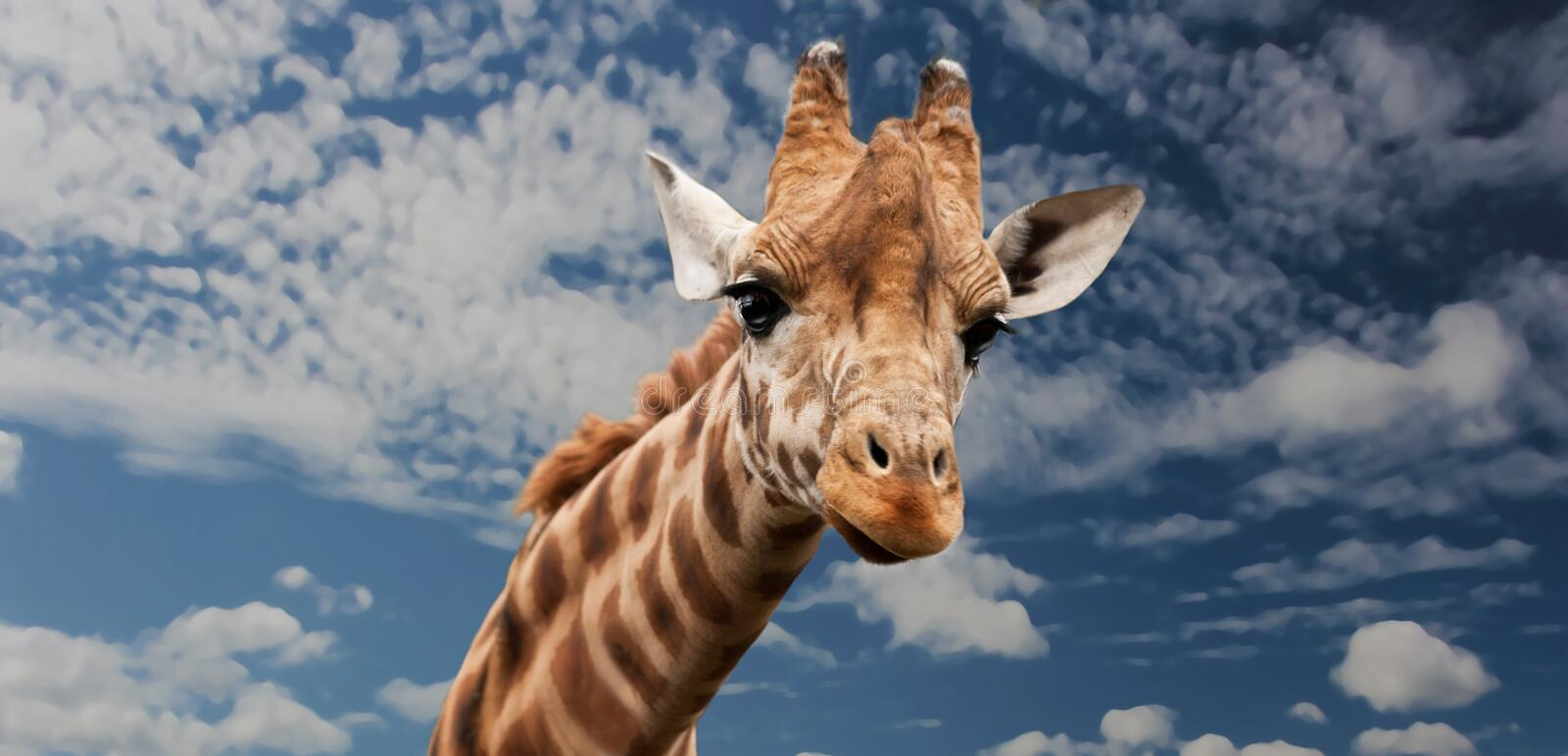 Brown Beige and White Giraffe Under White Clouds royalty free stock photography
