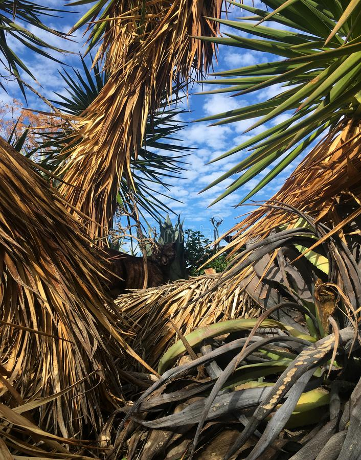 A brown cat hiding in palm trees. Brown beutiful female cat with amasing green eyes, hiding at her home, at the park between palm trees royalty free stock images