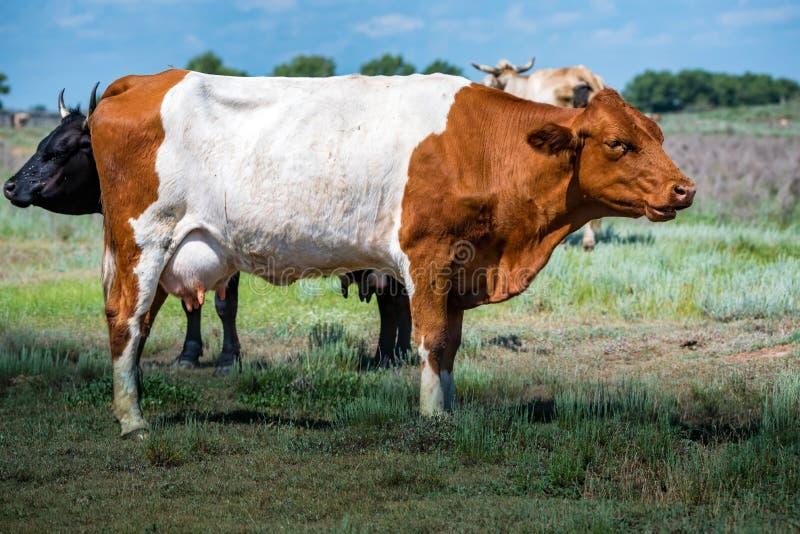 Brown bezroga krowa w zieleni polu w wsi zdjęcie royalty free