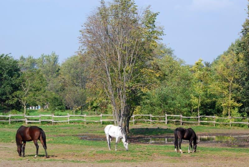 Brown biały i czarny koń zdjęcia royalty free