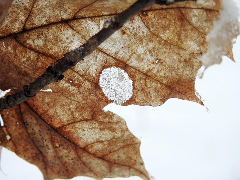 Brown birch tree leaf with skeleton, Lithuania royalty free stock photos