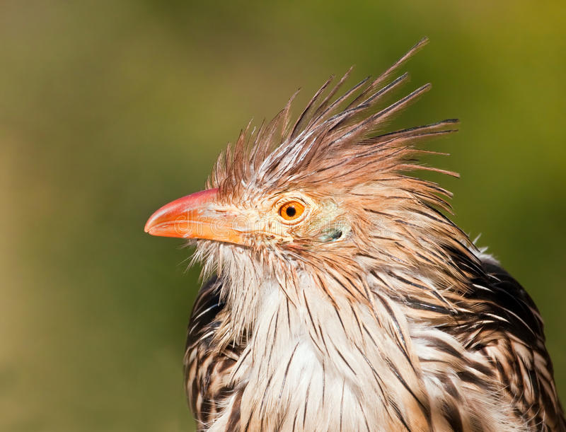 Brown bird with a bad hair day. In the sunshine wet stock image