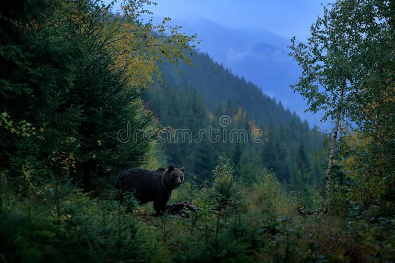Brown bird in environment, dark evening autum forest. Brown bear feeding before winter. Slovakia mountain Mala Fatra, green forest stock images