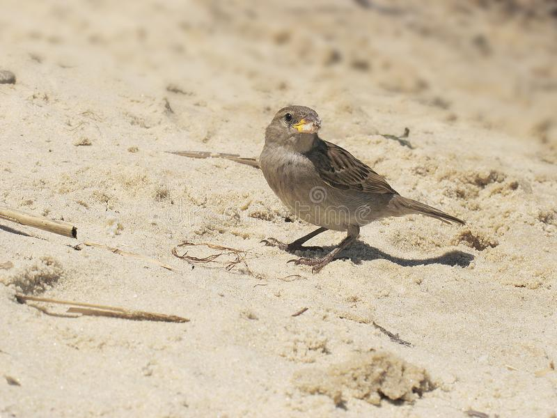 Brown bird of eurasian sparrow at background of sand stock photo