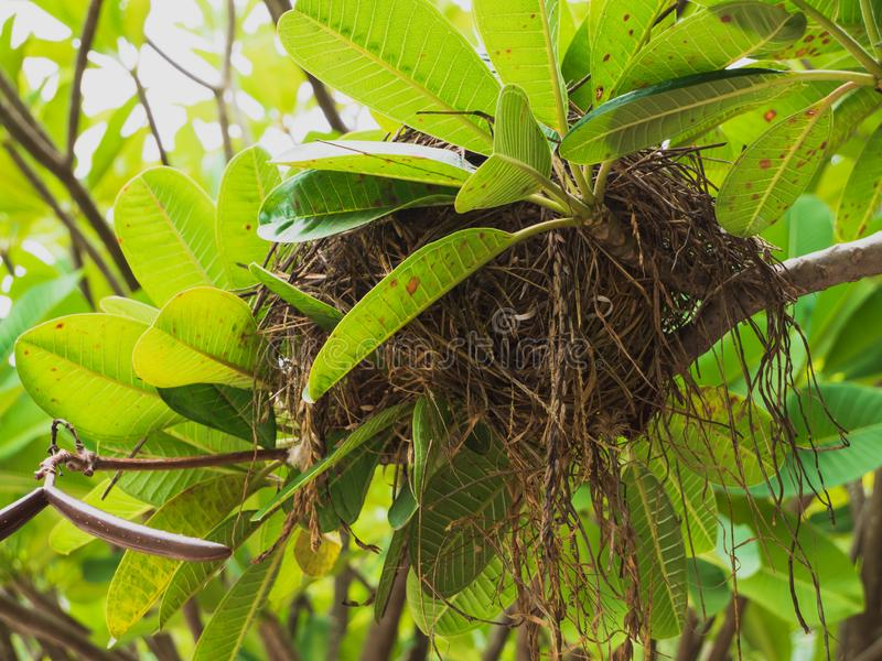 Brown bird nest on branch of tree. Brown bird nest on branch of tree with natural green leaves royalty free stock photos