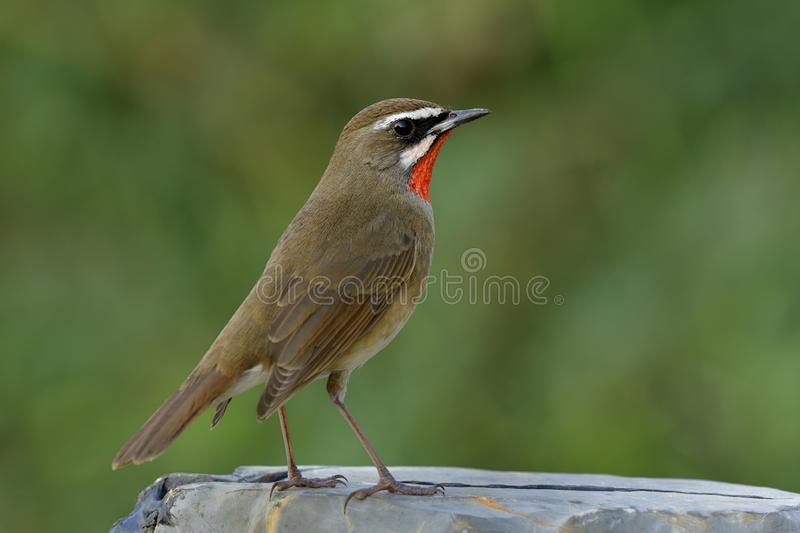 Brown bird with orange neck feathers strongly standing on grey r royalty free stock image