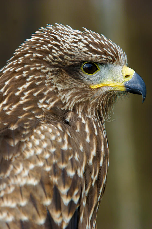Download Brown bird of prey stock image. Image of portrait, avian - 20883823