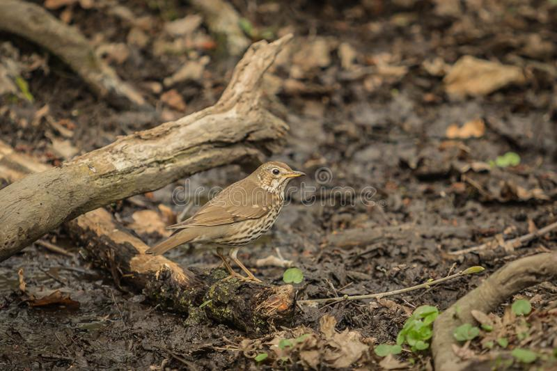 Brown bird, song thrush, sitting on a piece of wood stock photography