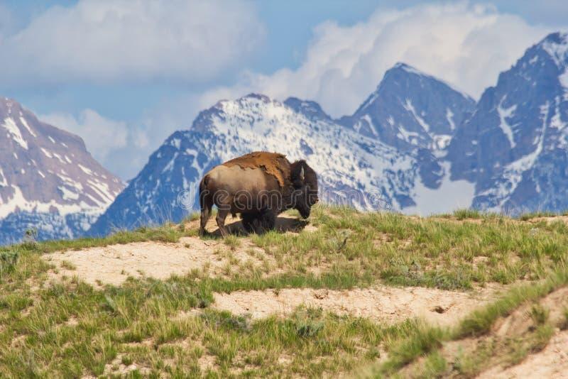 Brown Bison in cima alla montagna Brown con campo verde d'erba fotografia stock