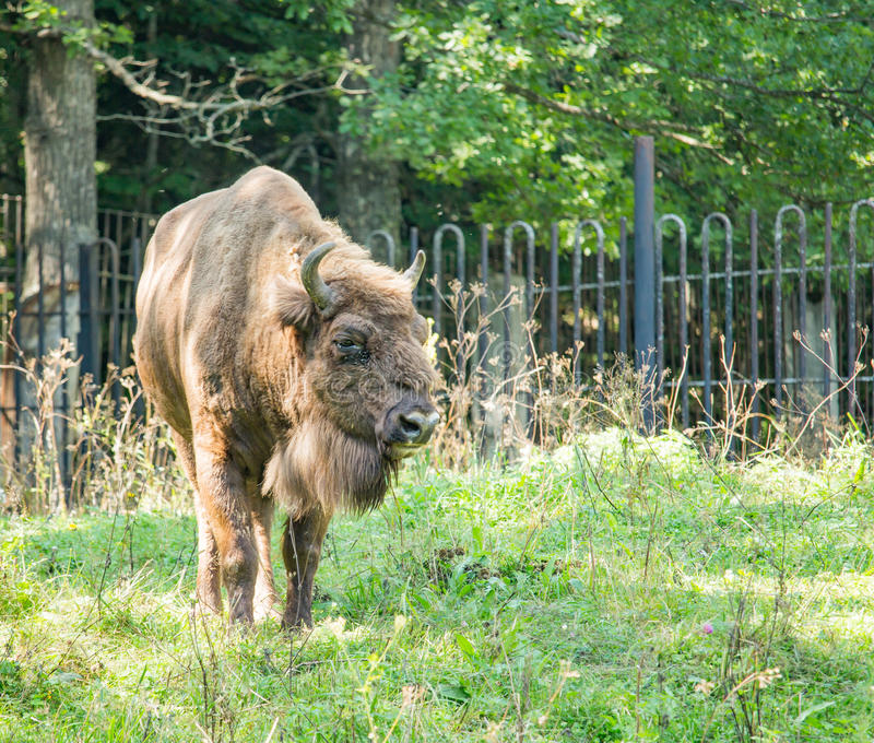 Brown bison walking on the grass. In the daytime royalty free stock photo