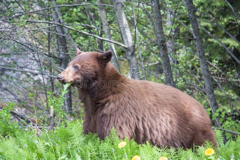 Brown björn arkivbilder