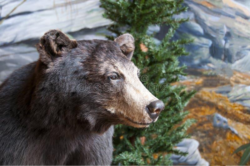 Brown björn fotografering för bildbyråer