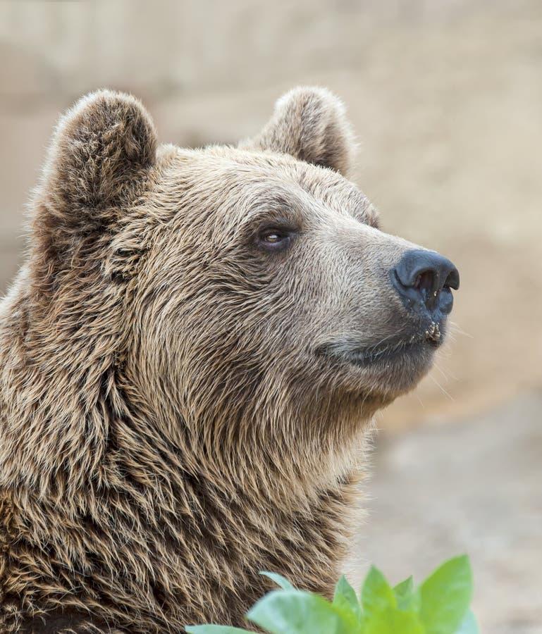 Brown björn arkivbild