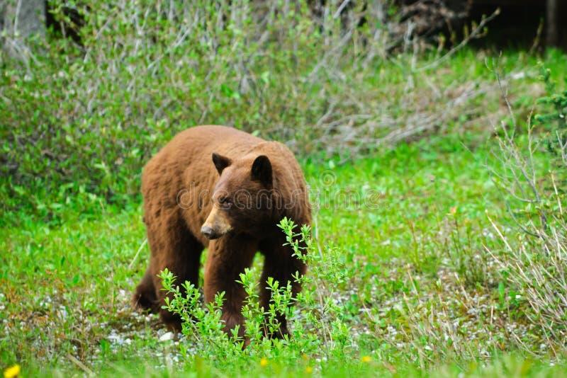 Brown björnar arkivfoton