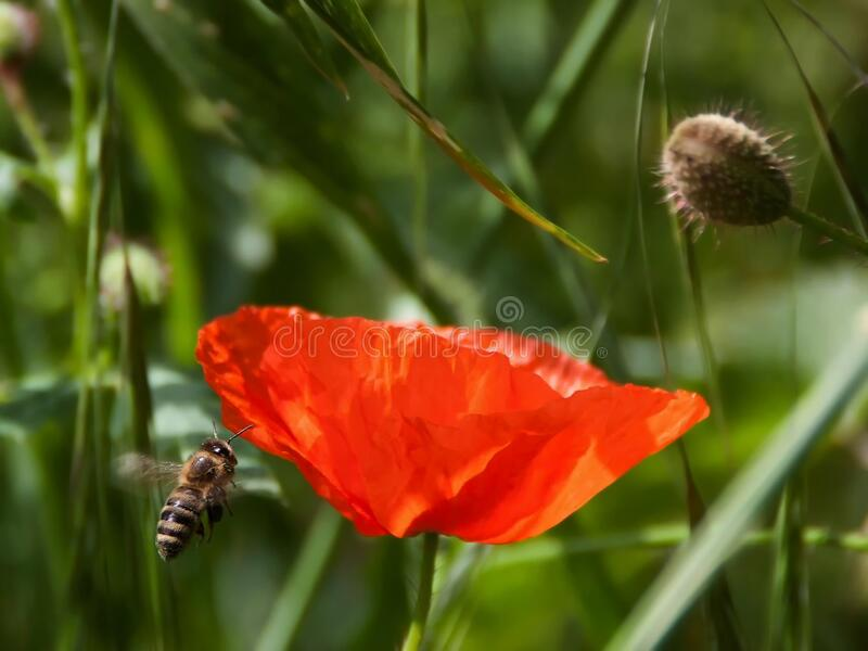 Brown and Black Bee Flying Near Orange Petaled Flower during Daytime royalty free stock photo