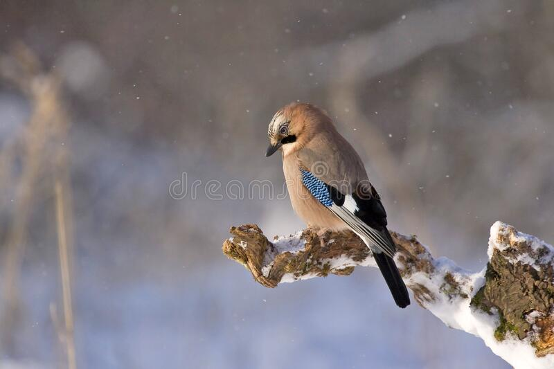 Brown Black and Blue Bird Sitting on Brown Tree Twig royalty free stock photo