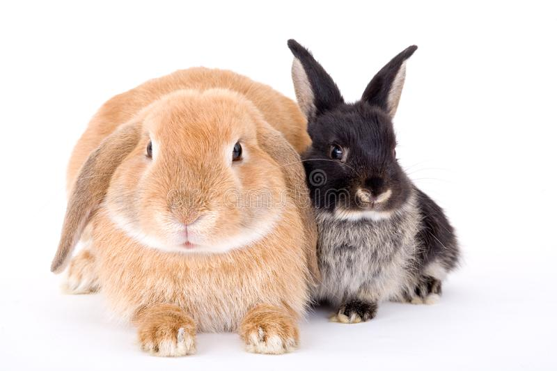 Brown and black bunny stock images