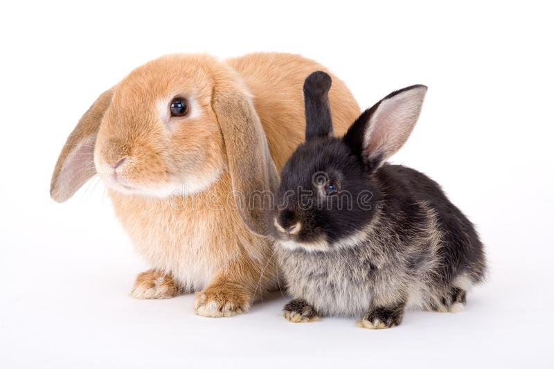 Brown and black bunny stock photo