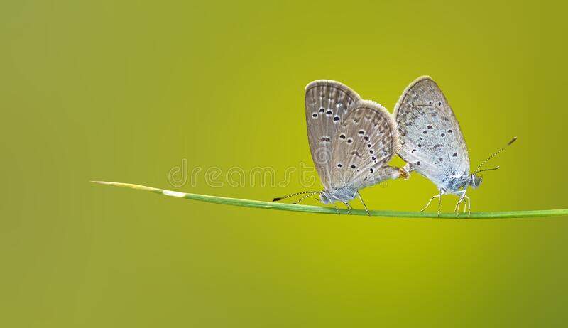 Brown and Black 2 Butterflies on Green Stem stock photography