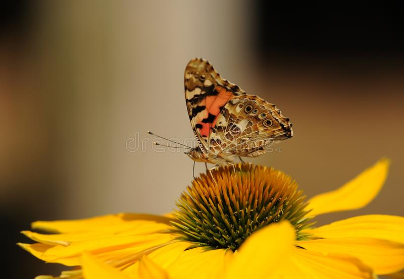 Brown and Black Butterfly on Top of Yellow Sunflower on Macro Lens royalty free stock images
