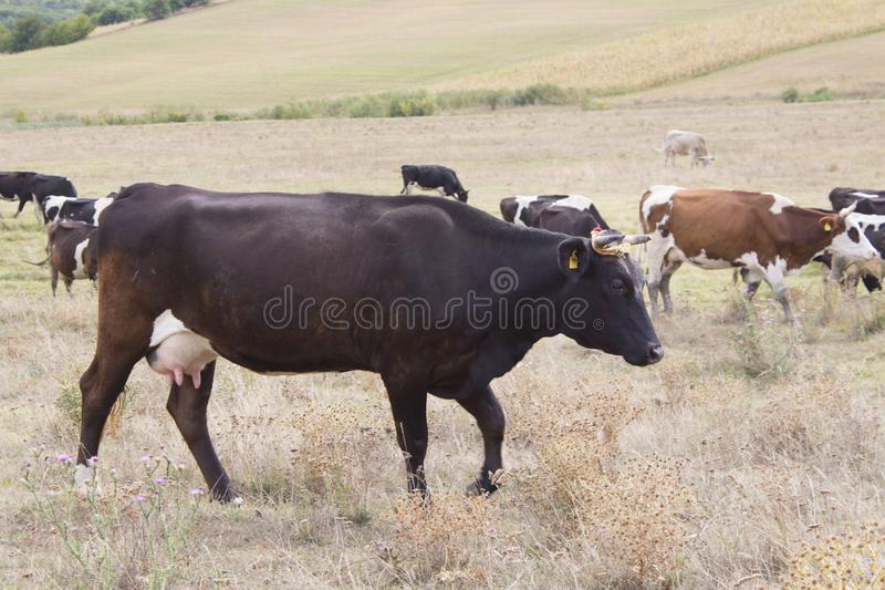 Brown and black cows grazing royalty free stock image