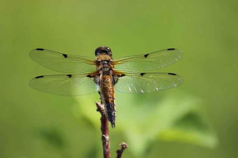 Brown And Black Dragonfly Free Public Domain Cc0 Image