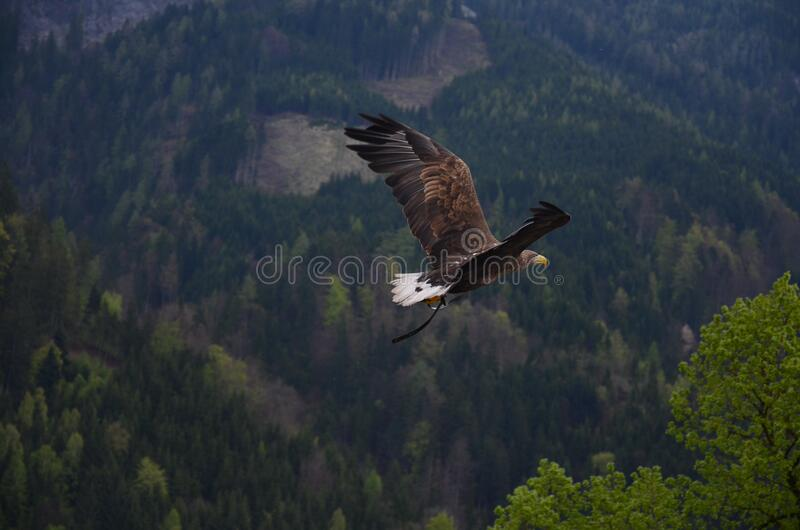 Brown And Black Flying Hawk Free Public Domain Cc0 Image