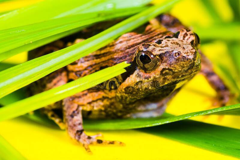 Brown and Black Frog Lying on a Green Leaf royalty free stock photography
