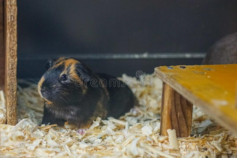 A brown black Guinea pig Cavia porcellus lying on the floor stock photography