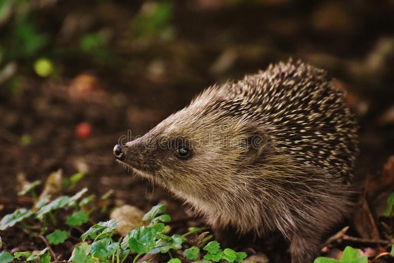 Brown and Black Hedgehog royalty free stock photos
