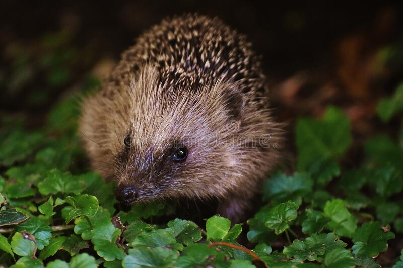 Brown And Black Hedgehog On Grass Free Public Domain Cc0 Image