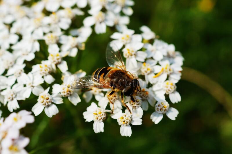 Brown and Black Honey Bee on White Flower Near Green Plants during Daytime stock photo