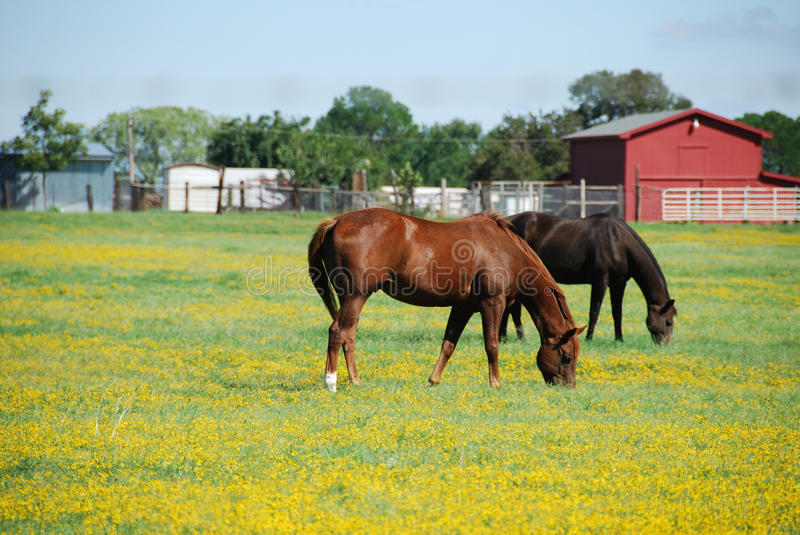 Brown and black horse on a farm eating grass. Foreground consists of yellow flowers. Background is a red barn royalty free stock image