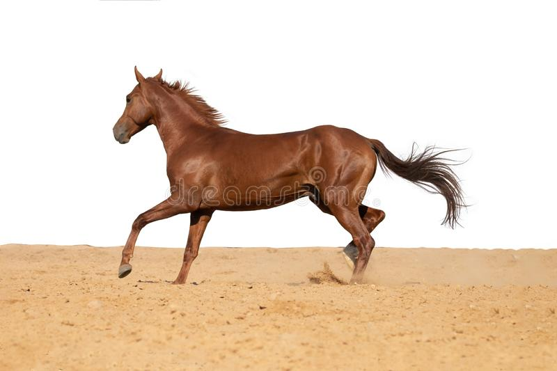 Horse galloping on sand on a white background. Brown and black horse galloping on sand on a white background, without people stock photography