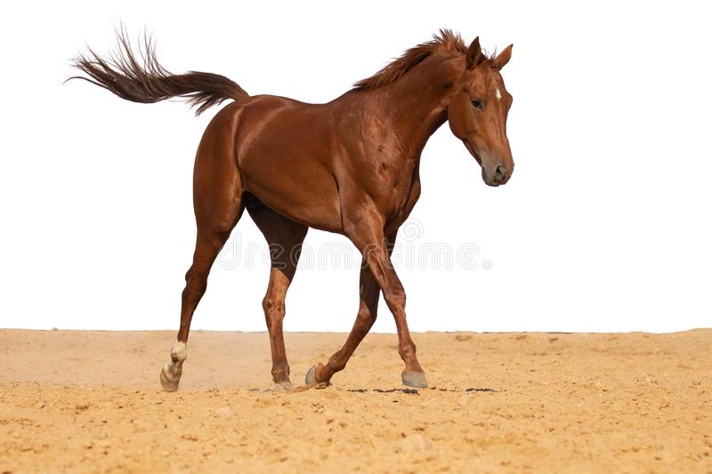 Horse galloping on sand on a white background royalty free stock photos