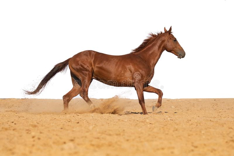 Horse galloping on sand on a white background. Brown and black horse galloping on sand on a white background, without people stock images