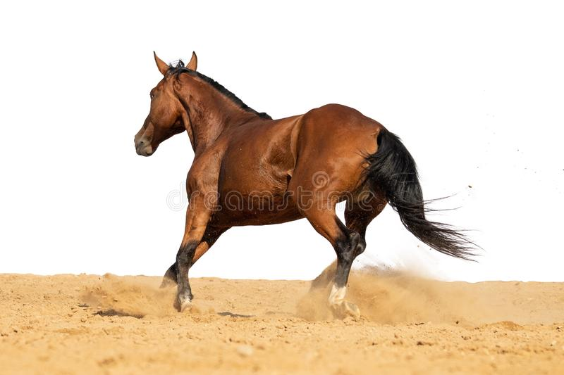 Horse galloping on sand on a white background. Brown and black horse galloping on sand on a white background, without people stock photos