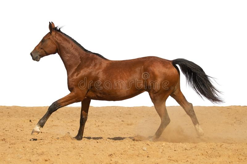 Horse galloping on sand on a white background. Brown and black horse galloping on sand on a white background, without people royalty free stock images