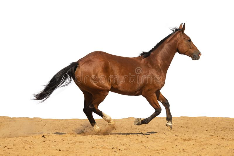 Horse galloping on sand on a white background. Brown and black horse galloping on sand on a white background, without people stock image