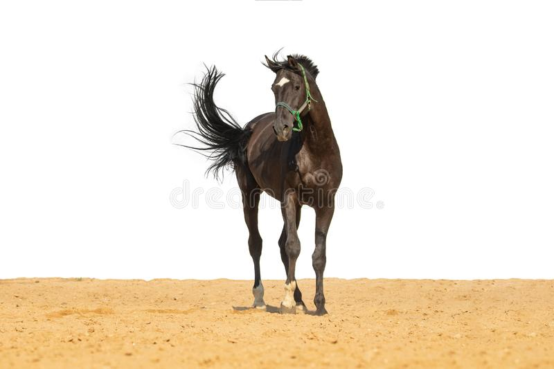 Horse jumps on sand on a white background. Brown and black horse galloping on sand on a white background, without people.nn stock photos
